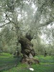 450px-Ancient_Olive_Tree_in_Pelion,_Greece